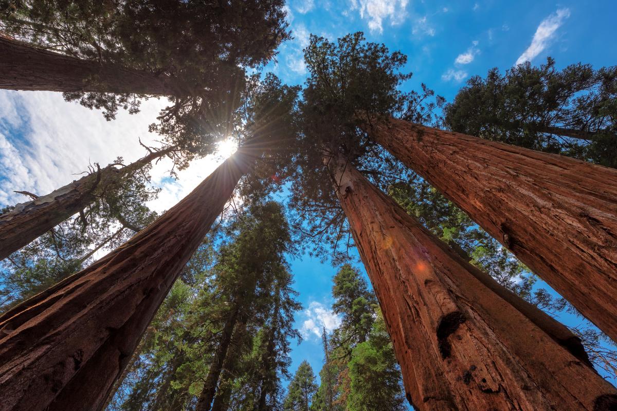 image of readwood trees